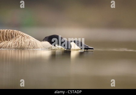Canadá ganso Branta canadensis un adulto en una agresiva carga territorial. Derbyshire, Reino Unido Imagen De Stock