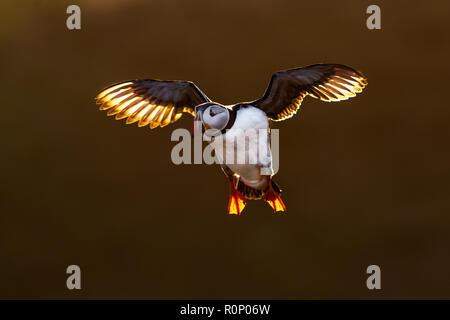 Frailecillo atlántico (Fratercula arctica) en vuelo, retroiluminación de dorada luz del atardecer, Skomer, Gales Imagen De Stock