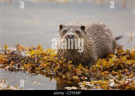Unión nutria Lutra lutra un adulto húmedo pausas entre las algas en una remota costa Escocesa. Isle Of Imagen De Stock