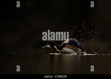 Somormujo LAVANCO Podiceps cristatus adulto temblor sí seco en los últimos vestigios de luz del atardecer. Imagen De Stock