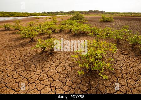 Grietas del suelo y la vegetación en el desierto del Parque Nacional Sarigua, provincia de Herrera, República de Panamá. Imagen De Stock