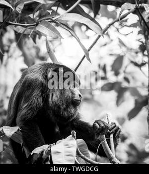 Mono aullador negro sentado en el bosque en impresionante blanco y negro Imagen De Stock
