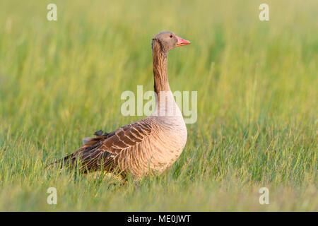 Retrato de un perfil graylag goose (Anser anser) de pie en un campo de hierba en el Lago Neusiedl, en el Burgenland, Austria Imagen De Stock