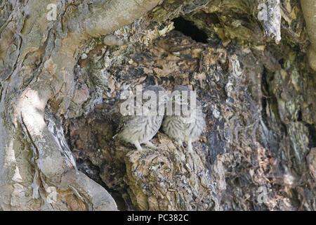 Pequeño Búho (Athene noctua) 2 pollitos, encaramado fuera del nido, en Suffolk, Inglaterra, Reino Unido, junio Imagen De Stock