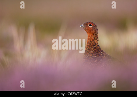 El urogallo rojo Lagopus lagopus scoticus un varón adulto entre la floración heather Yorkshire Dales National Imagen De Stock