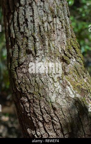 Árbol Sourwood, utilizado por los Indios Cherokee para ejes de flecha, Qualla Reserva, Carolina del Norte. Fotografía Digital. Imagen De Stock