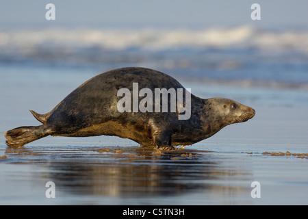 Junta gris Halichoerus grypus delimitador de una hembra adulta a través de la arena mojada hacia el mar. Lincolnshire, Imagen De Stock