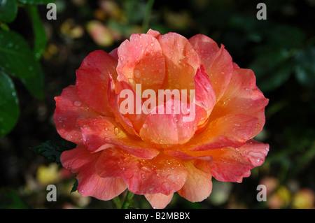 Rosa - Becas Harwelcome Imagen De Stock