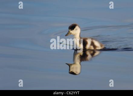 Tadorna tadorna SHELDUCK UN PATITO hace su camino a través de una piscina de agua dulce de la isla Skomer, Imagen De Stock