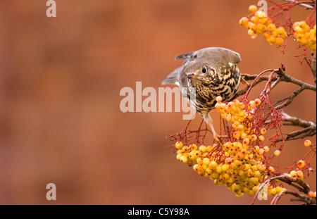 MISTLE Turdus viscivorus zorzal un adulto alimentándose en una variedad diferente de rowan tree. Nottinghamshire, Imagen De Stock