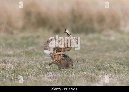 Liebre europea (Lepus europeaus) par adultos, 'boxing', hembra macho combatiendo en el campo de hierba, en Suffolk, Inglaterra, de marzo Imagen De Stock