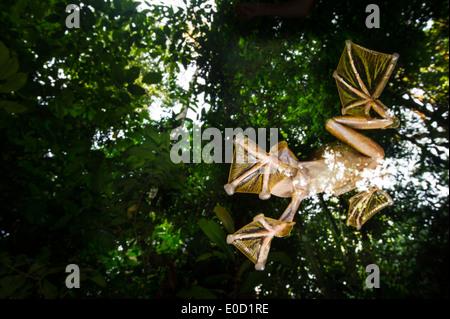 Macho Wallace's Flying Frog volando/deslizándose hacia abajo para agrupaciones temporales en el suelo del bosque, Sabah, Borneo (Rhacophorus nigropalmatus) Imagen De Stock