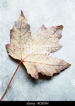 Gotas de agua en la Maple Leaf Imagen De Stock