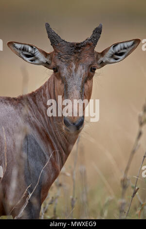 Topi (Tsessebe) (Damaliscus lunatus) en la pantorrilla, el Parque Nacional Kruger, Sudáfrica, África Imagen De Stock