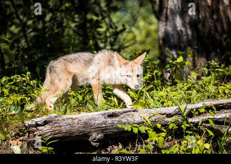 El parque nacional de Glacier, Montana. Coyote Imagen De Stock