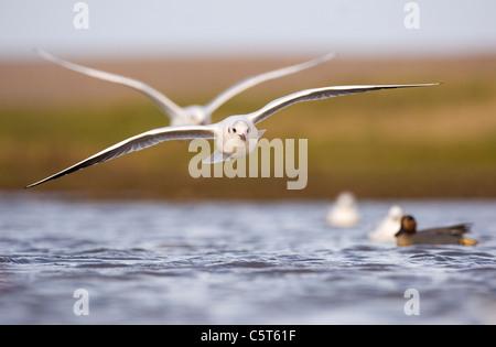 Cabeza negra Larus ridibundus Gaviota un adulto en su plumaje de invierno llegando a la tierra, un hombre azulado Imagen De Stock