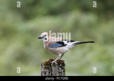 Jay, Garrulus glandarius, sentado en stump, Dumfries , Julio , Dumfries , Julio Imagen De Stock