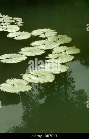 Lirio de agua u hojas de loto con el reflejo en el agua quieta. Imagen De Stock
