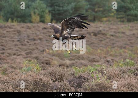 Águila Real (Aquila chrysaetos) adulto, sobrevolar brezales, Octubre, sujeto controlado Imagen De Stock