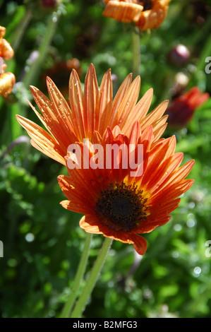 Cape Daisy Arctotis x hybrida llama perenne de licitación con colores brillantes para el verano plan camas Imagen De Stock