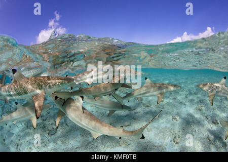 Over/under de Blacktip tiburones de arrecife en una laguna, en la Polinesia Francesa. Imagen De Stock