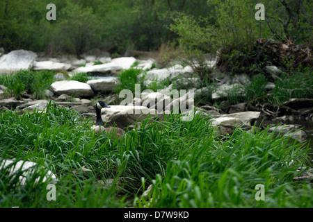 Un solitario Ganso canadiense palos su cabeza hacia arriba por encima de la hierba alta. Imagen De Stock