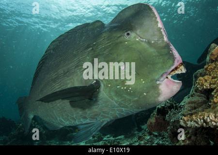 Napoleón, el pez loro Malasia Sipdan island (Bolbometopon muricatum) Imagen De Stock