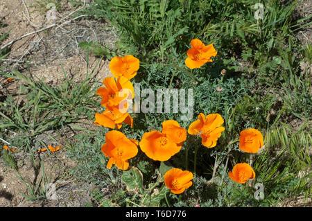 Amapolas de California en el Antelope Valley. Fotografía Digital. Imagen De Stock