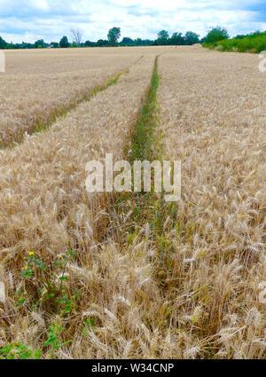 Campo de trigo en Berkshire. Foto: Tony Gale Imagen De Stock