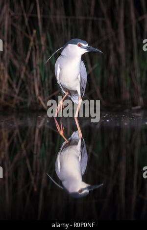 Negro-Noche coronado Heron (Nycticorax nycticorax) reflejada en una piscina de noche, Hungría Imagen De Stock
