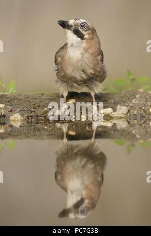Jay euroasiático (Garrulus glandarius) adulto, se situaba en el borde de la piscina, con reflexión, en Woodland, Vojvodina, Serbia, Junio Imagen De Stock