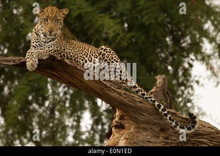 Leopardo africano recostado en el árbol, la Reserva de caza de Samburu, Kenia, África (Panthera pardus) Imagen De Stock