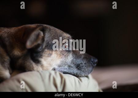 Triste busca Pastor Alemán perro de raza cruzada acostado en la cama esperando dueño. Imagen De Stock