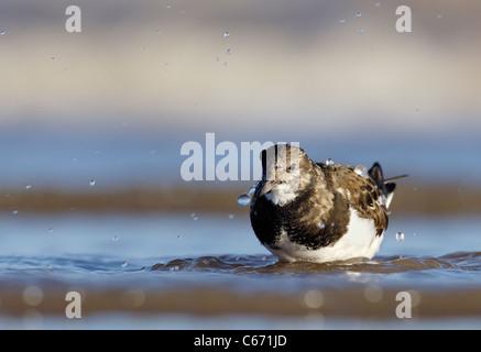 Arenaria interpres TURNSTONE retrato de un adulto en aguas costeras poco profundas. De enero. Lincolnshire, el fotógrafo Imagen De Stock