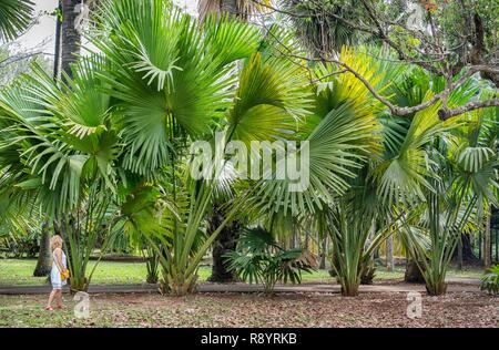 Mauricio, Pamplemousses barrio, Pamplemousses, Sir Seewoosagur Jardín botánico Jardín Pamplemousses, Washingtonia robusta Imagen De Stock