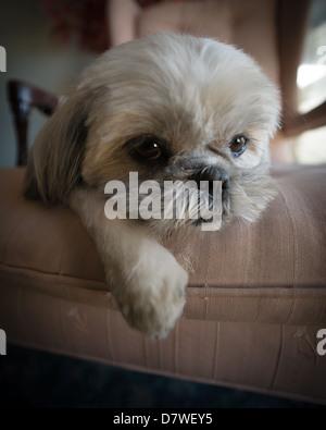 Close-up de un muy lindo, pequeño y blanco perrito shih tzu lazed en una silla grande. Imagen De Stock