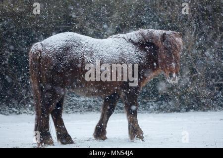Ponis en la nieve en invierno, Puerto Milborne, Somerset, Inglaterra, Reino Unido. Imagen De Stock