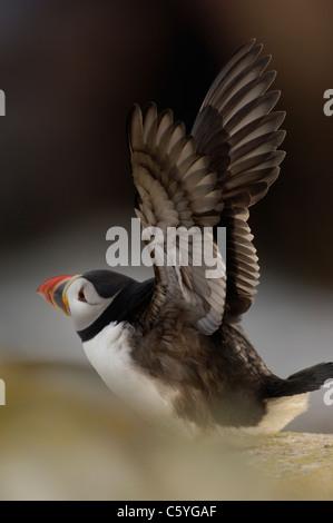 Fratercula arctica frailecillo adulto estirando sus alas. De mayo. Las Islas saltee, República de Irlanda Imagen De Stock