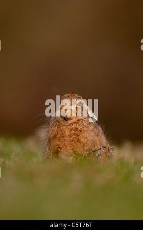 BROWN LIEBRE Lepus europaeus retrato de un adulto lamiendo sus labios mientras descansa en la luz del atardecer. Imagen De Stock