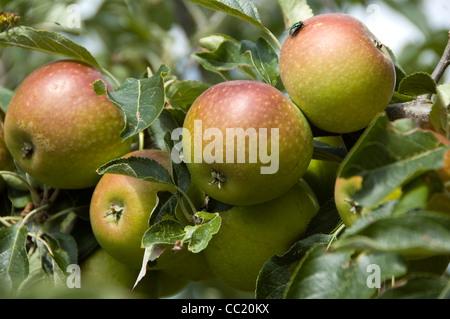 Grupo de Cox's Orange Pippin Manzanas - maduros y listos para la cosecha Imagen De Stock