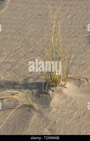 Hierba de dunas en playa de Surf cerca de Lompoc, California central coast. Fotografía Digital. Imagen De Stock