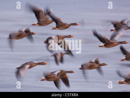Graylag goose Anser anser un grupo de gansos volando en el pasado la mitad de luz antes del amanecer (borrosa para Imagen De Stock
