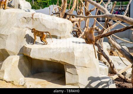 Francia, Paris, Parque Zoológico de París (zoo de Vincennes), el macquaques Imagen De Stock