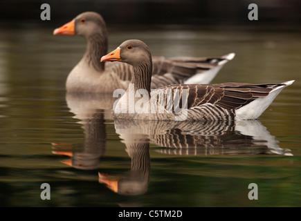 GRAYLAG GOOSE Anser anser un par de aves adultas se refleja en las tranquilas aguas del río Lea cerca de Hackney Imagen De Stock