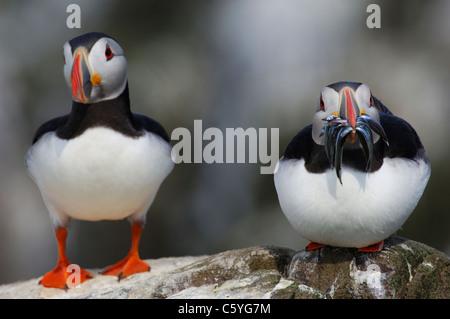 Fratercula arctica frailecillo un par de adultos, uno con un pico lleno de lanzón, siéntese cerca el uno Imagen De Stock