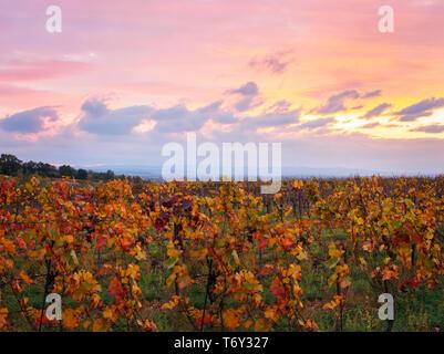 Viñedo de otoño Imagen De Stock