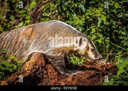 American Badger, Montana Imagen De Stock