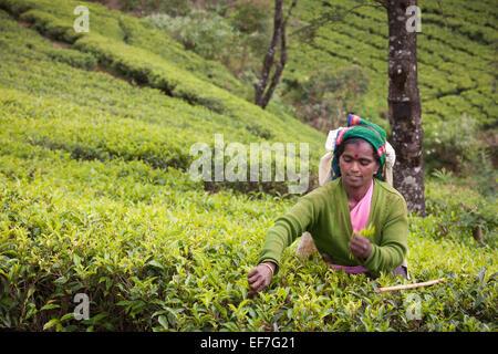Selector de té en el trabajo en las plantaciones Imagen De Stock