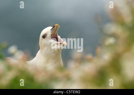 FULMAR Fulmarus glacialis adulto mostrando su llamada parlotear ruidosamente entre flores costeras. Las Islas saltee, Imagen De Stock