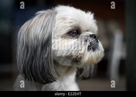 El rostro de un lindo y recién arreglados Shih Tzu sog mirando fijamente fuera de cámara. Imagen De Stock
